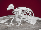 Griffin Skeleton in White Strong & Flexible