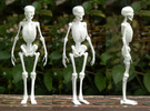 Free Standing Skeleton Figure in White Strong & Flexible