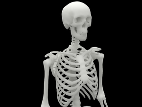 Ecorche Skeleton 1/4 Scale 37.5cm/14in  in White Natural Versatile Plastic