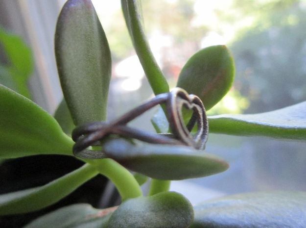 Heartwine - Size 7 3d printed Heartwine on a Vine - - well, a jade plant.  Stainless.
