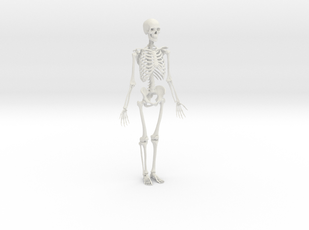 Ecorche Skeleton 1/3 scale 50cm/20in