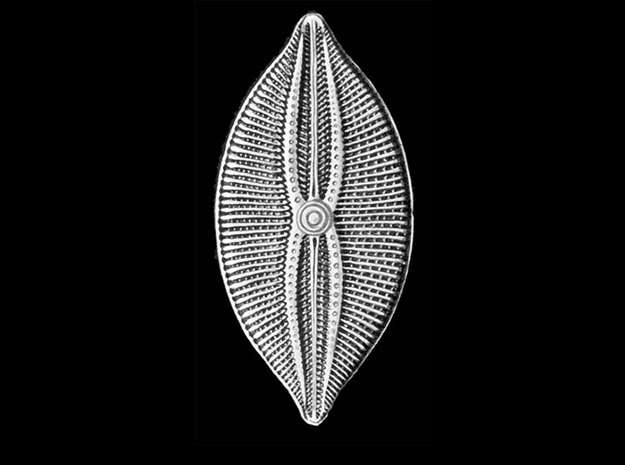 Navicula bullata Pendant ~ 46mm tall (1.8 inches) 3d printed Navicula bulatta from plate 84 of Haeckel's 'Kunstformen der Natur' (Art Forms of Nature) 1904