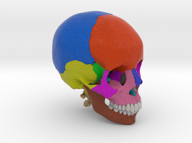 Human skull with colored bone - 1/2 life size
