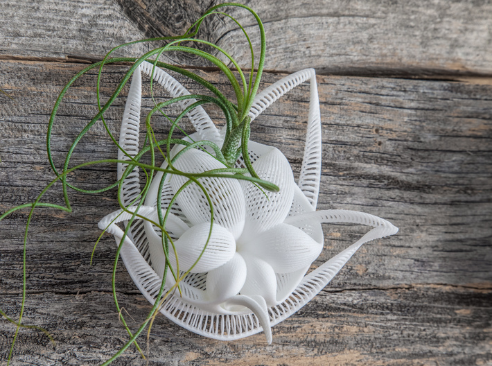 Bulbophyllum Gracilis Planter 3d printed Tillandsia species: T. butzii