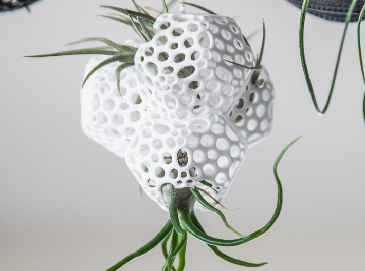 Radiolaria Tetrahedra Planter 3d printed Tillandsia species: T. bulbosa and T. bandensis