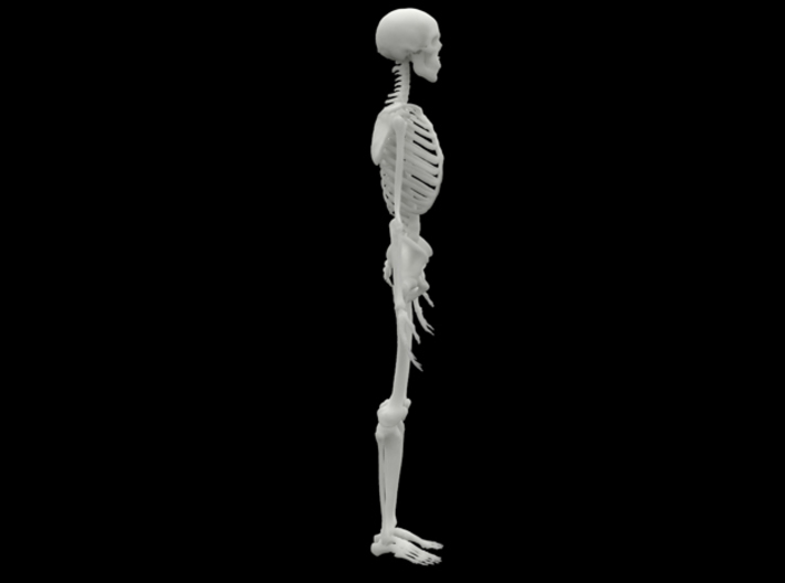 Ecorche Skeleton 1/4 Scale 37.5cm/14in  3d printed