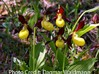 Lady's Slipper Orchid Pendant - Nature Jewelry 3d printed Photo of Cypripedium calceolus, a lady's slipper orchid