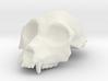 Aegyptopithecus zeuxis Cranium (1:1 Scale) 3d printed