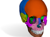 Human skull with color coded bones - life size 3d printed